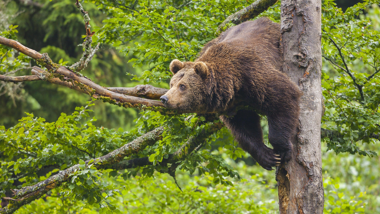 Ein Europäischer Braunbär (Ursus arctos) hängt im Nationalpark Bayerischer Wald in einem Baum.
