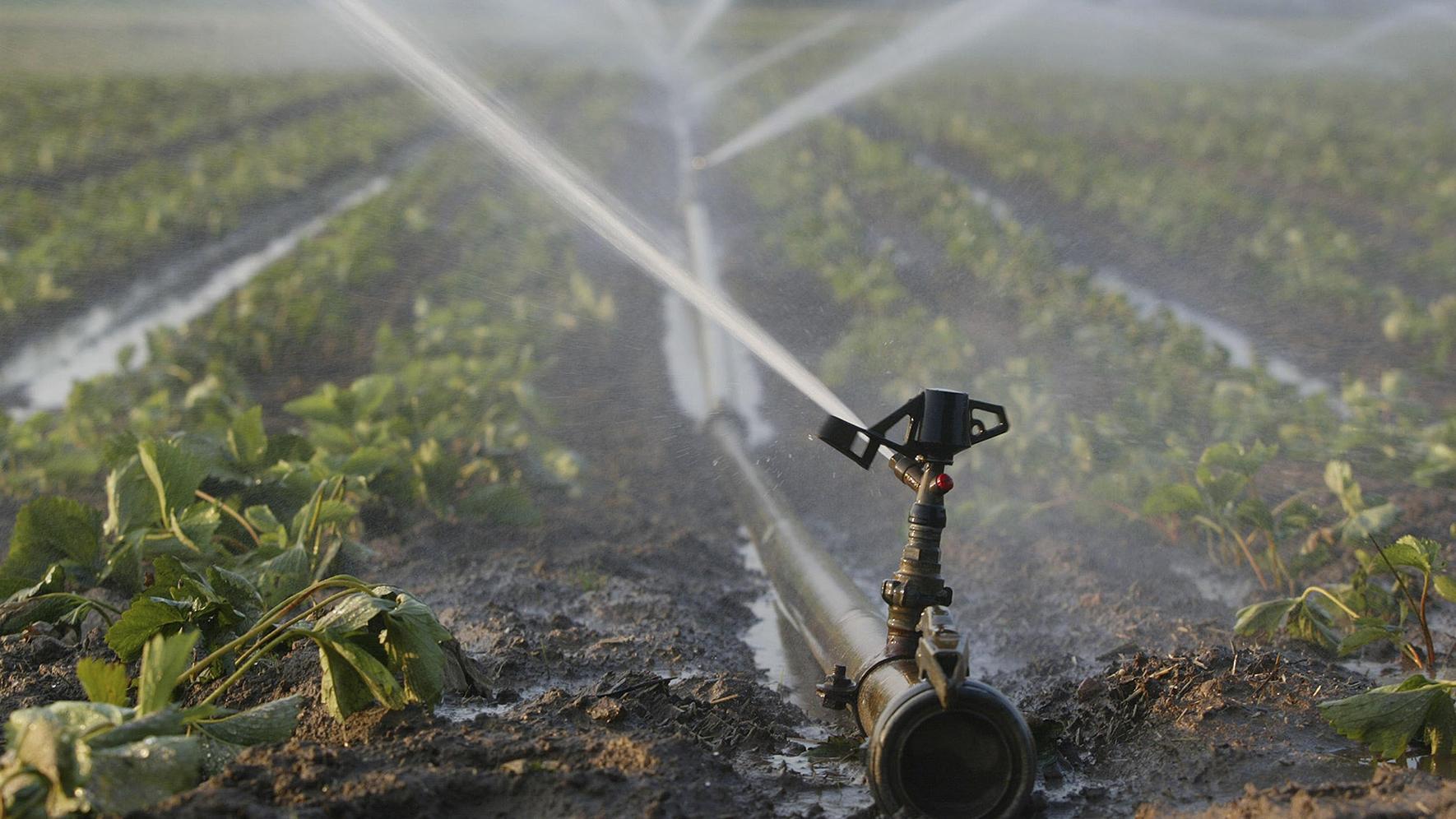 Symbolbild: Bewässerung von einem Erdbeerfeld