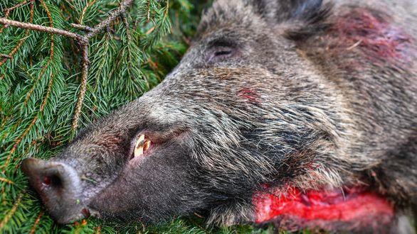 Mediennummer:96919882Beschreibung:Ein erlegtes Wildschwein liegt am 11.11.2017 nach einer Ansitz-Drückjagd nach altem Brauch auf Strecke auf einer Waldlichtung nahe Heinersdorf (Brandenburg). Treib- und Riegeljagden finden jetzt vielerorts statt. Brandenburg hat im Bundesvergleich mit die höchsten Bestände an Rotwild, Damwild und Schwarzwild.