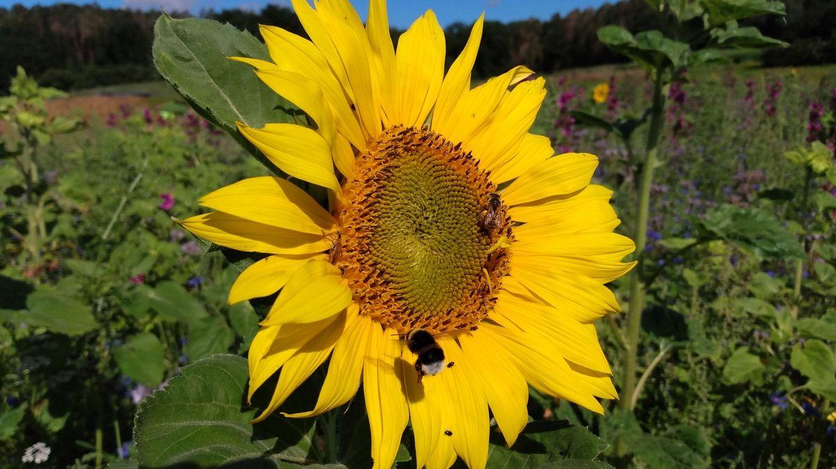 Eine Biene in einer Sonnenblumenblüte, umgeben von Wildblumen, im Hintergrund der Waldrand