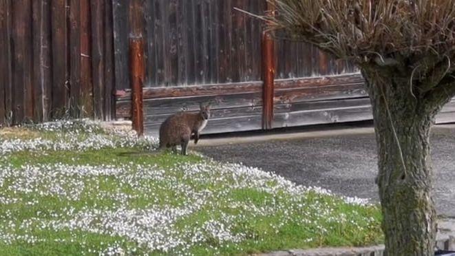 Anwohner haben das Känguru wieder in Wildenberg gesichtet.