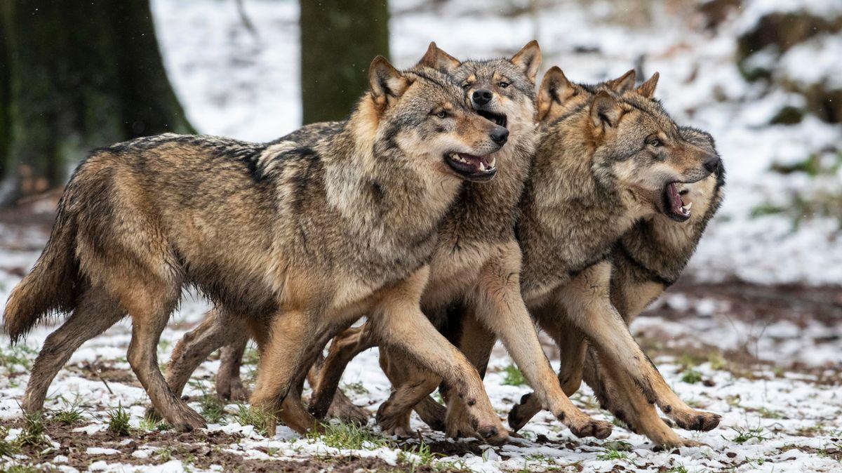 Vier Wölfe