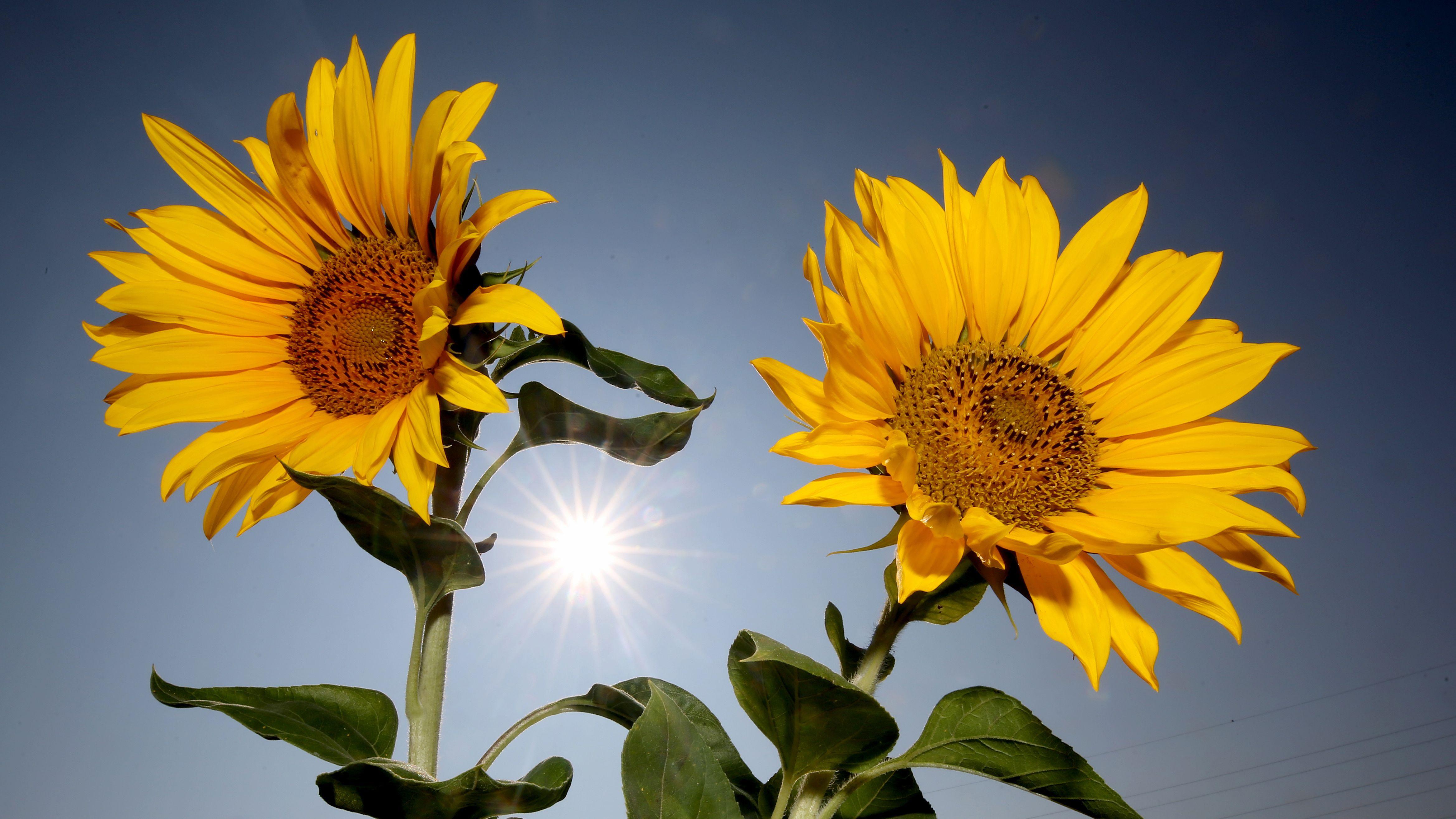 Sonnenblumen stehen bei strahlendem Sonnenschein auf einer Wiese.