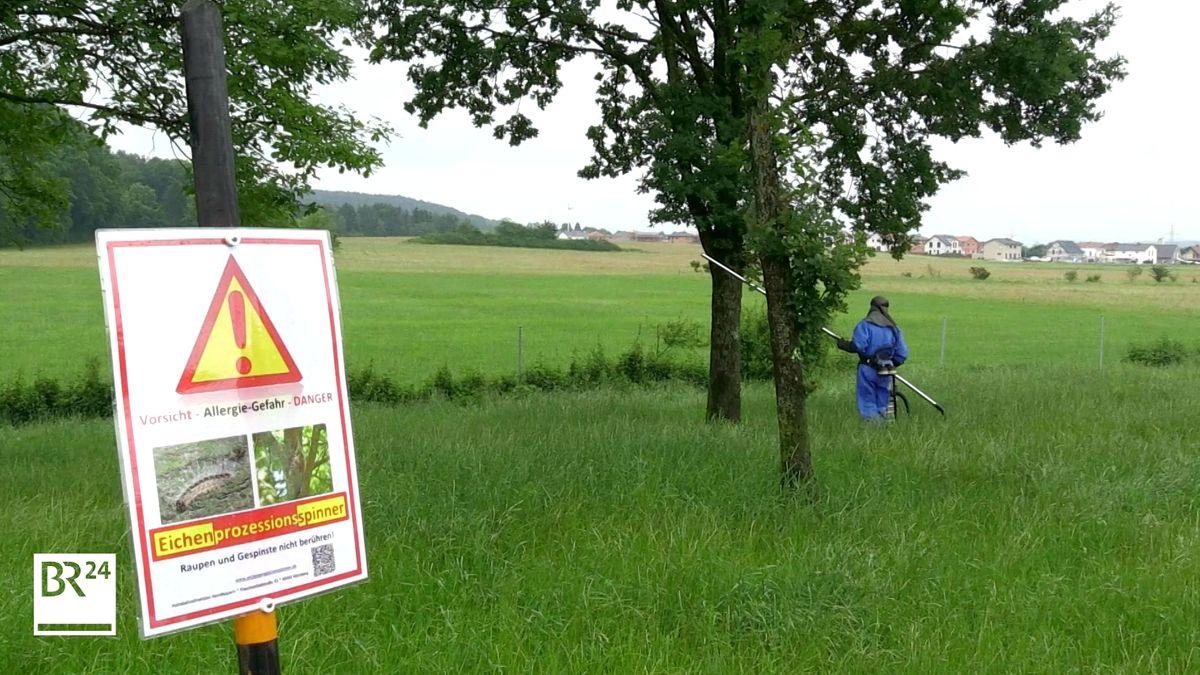 Ein Mitarbeiter der Autobahndirektion Nordbayern im blauem Schutzanzug steht vor Eichenbäumen und hält eine lange Metallstange in der Hand.