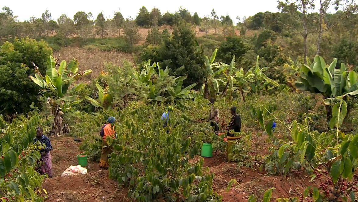 Kaffee-Ernte in Tansania