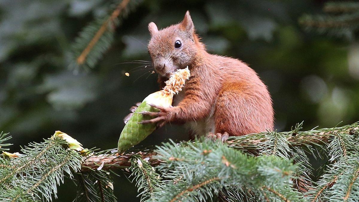 Eichhörnchen knackt Fichtenzapfen