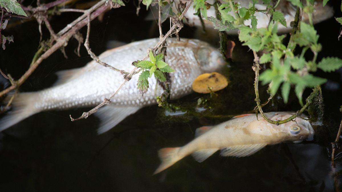 Tote Fische im Wasser (Symbolbild)