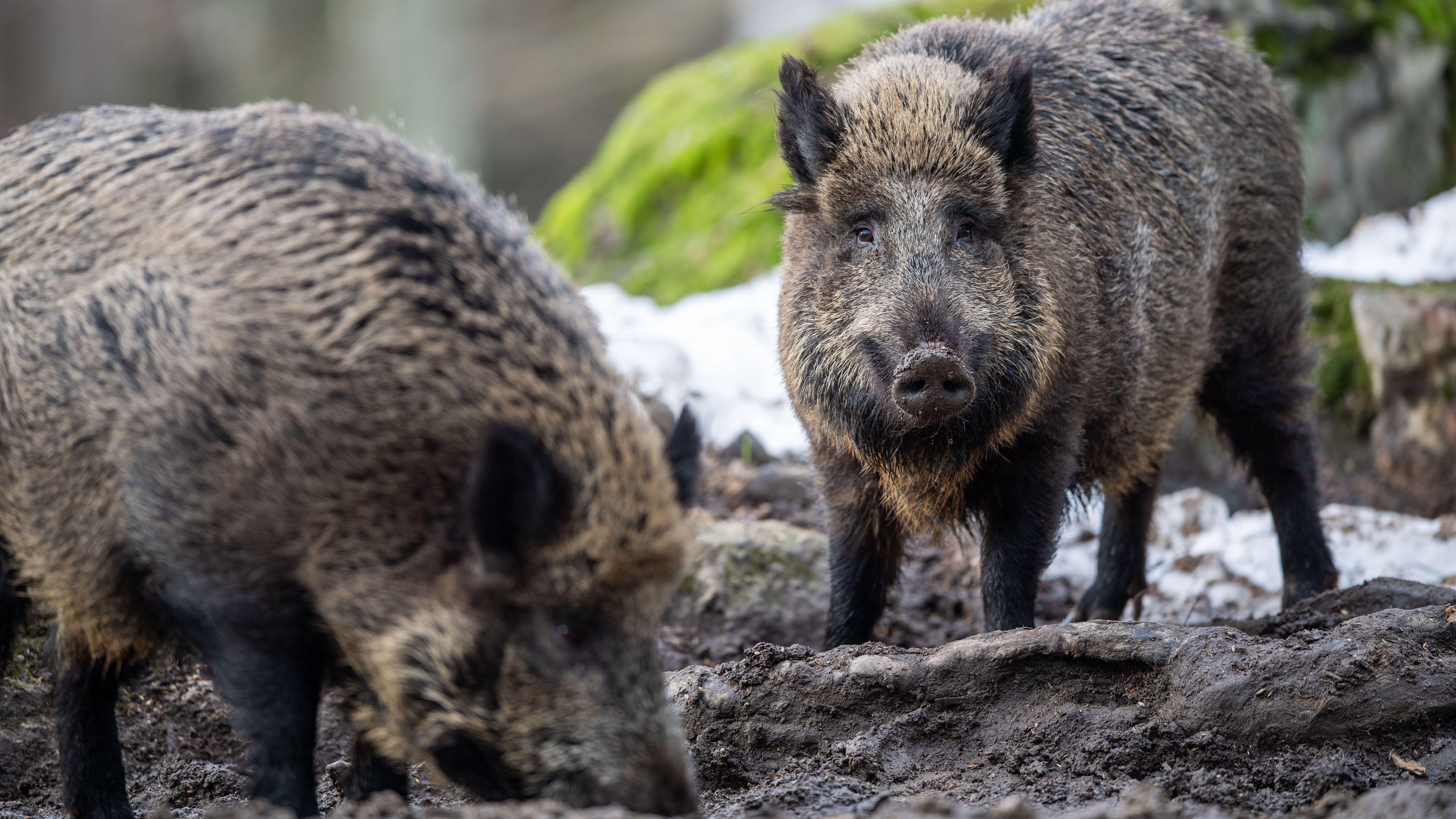 Bayern, Neuschönau: Zwei Wildschweine steht auf einem Plateau im Wald