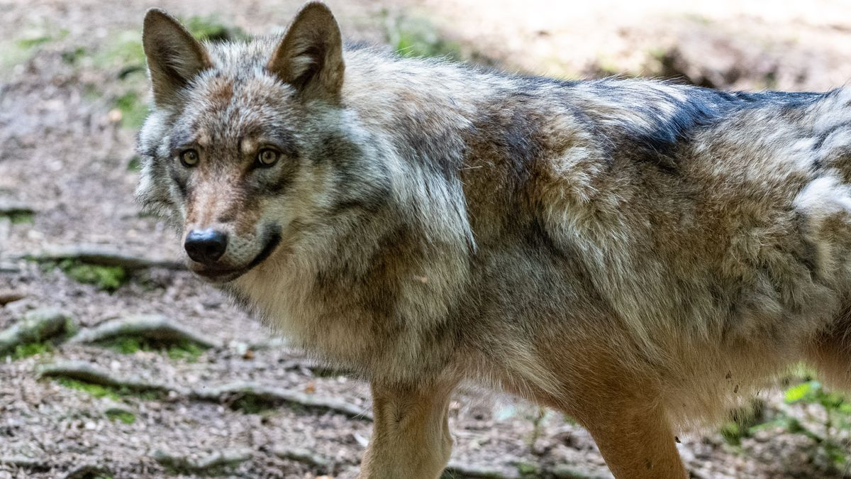 Wolf im Bayerwald-Tierpark Lohberg