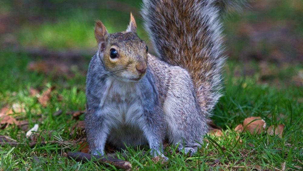 Grauhörnchen (Sciurus carolinensis) in Sheffield England: Forscher haben herausgefunden, dass das Vogelgezwitscher die Eichhörnchen beruhigt, wenn sie bei der Nahrungssuche Angst vor Fressfeinden haben. Der Grund ist ganz einfach: Die Vögel haben den gleichen Fressfeind und zwitschern nur, wenn keine Gefahr droht.