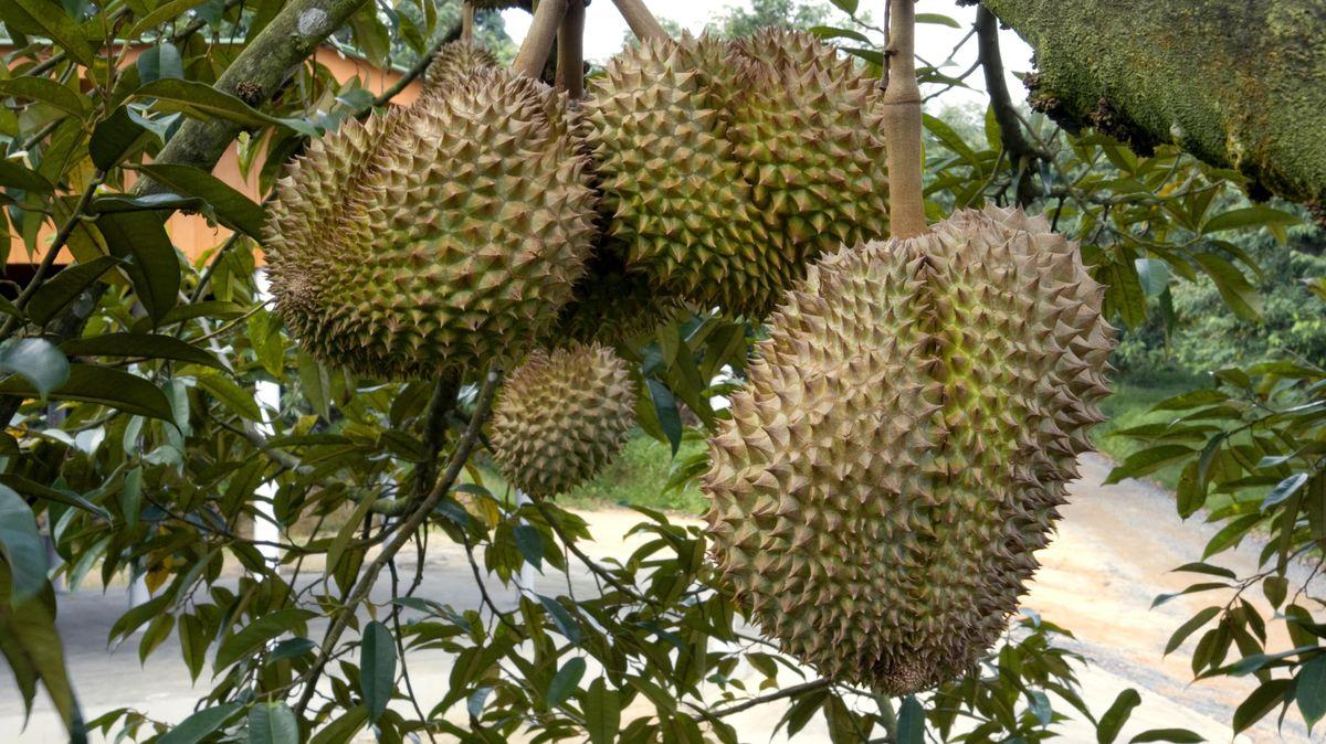 Thailändische Stinkfrüchte an einem Baum (Symbolbild).