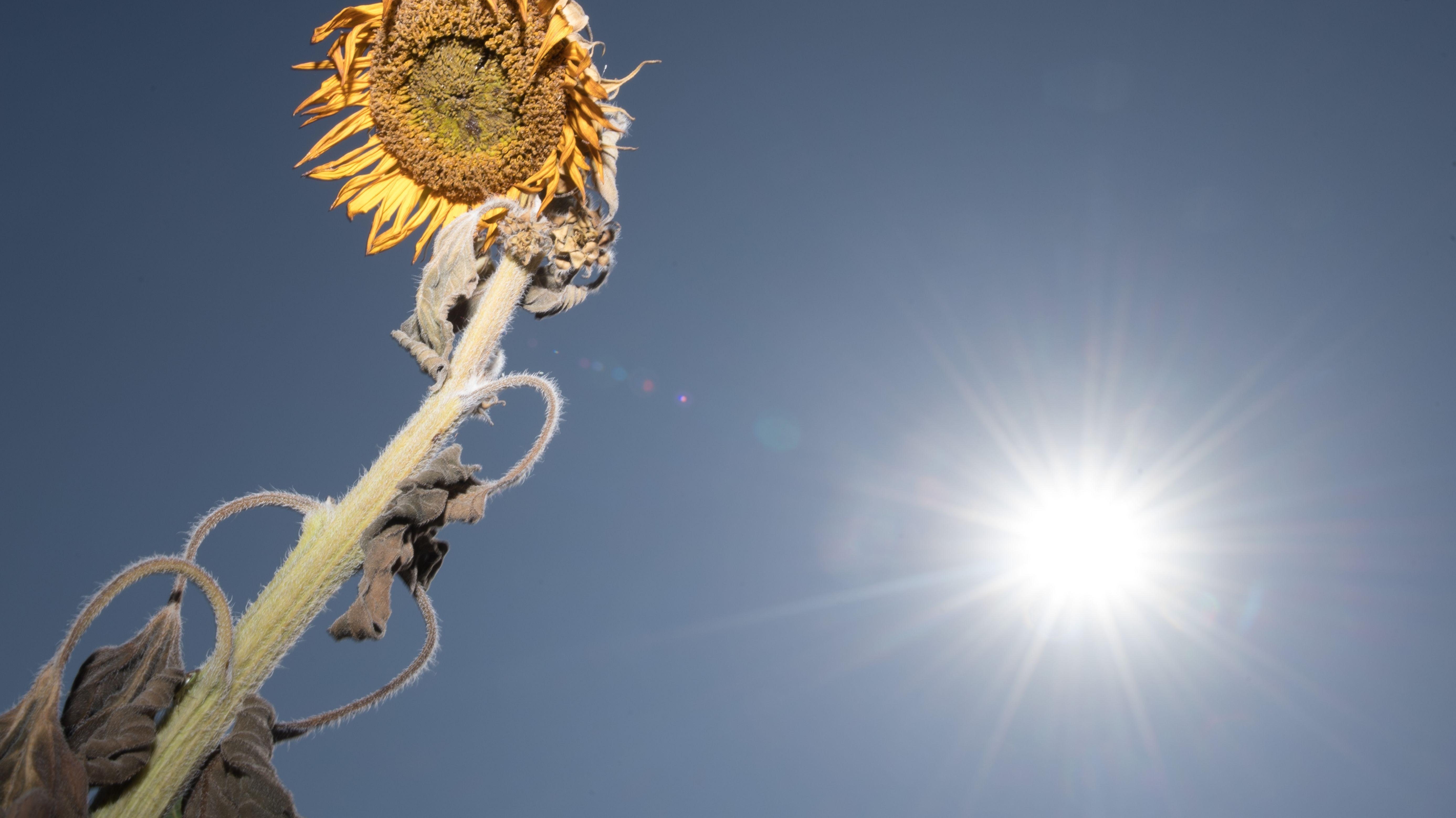 Sonnenblume vor Sonne