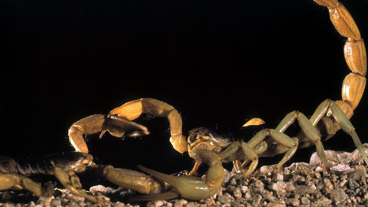 Zwei Skorpione beim Paarungstanz