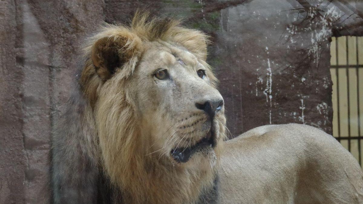 Das Schicksal des Löwen Subali bewegt gerade ganz Bayern. Das Löwenpaar im Nürnberger Tiergarten versteht sich gut - doch Nachwuchs fehlt.