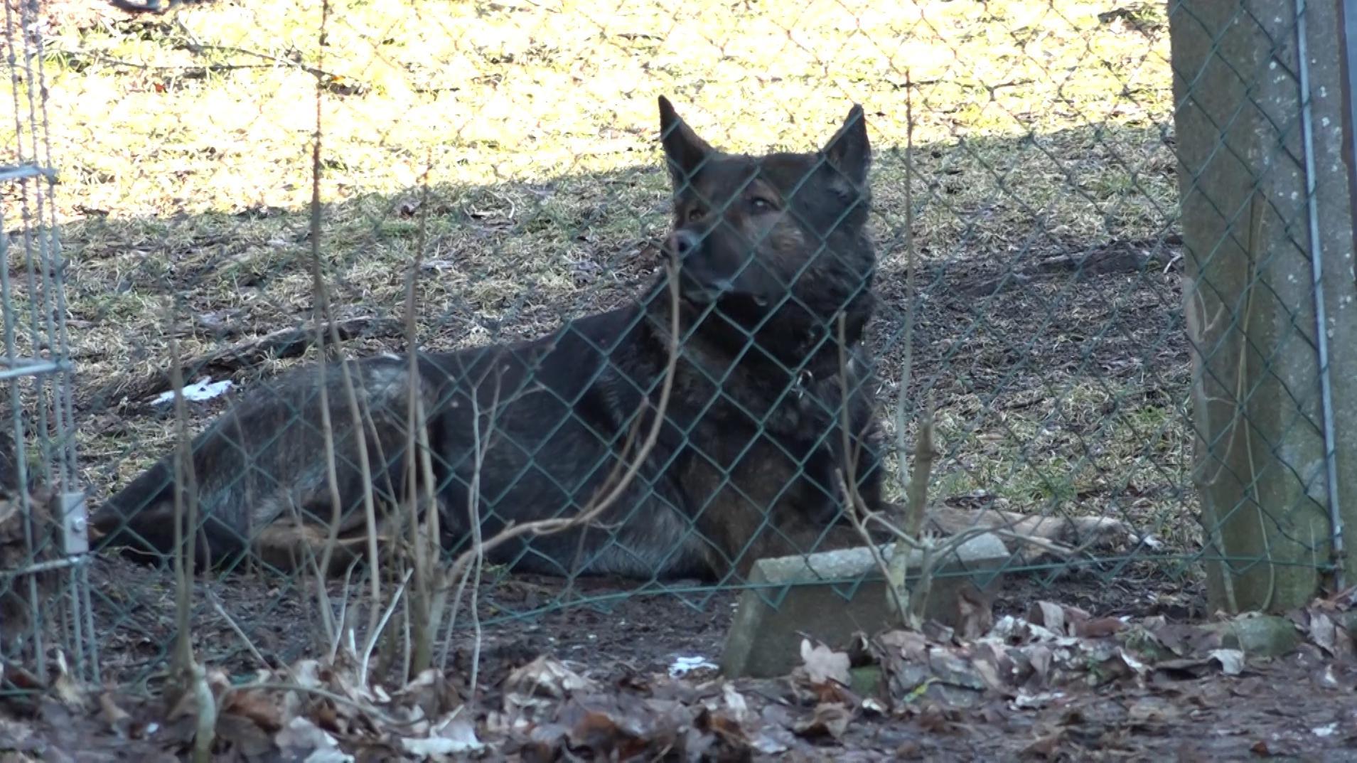 Einer der Schäferhunde in Münchberg