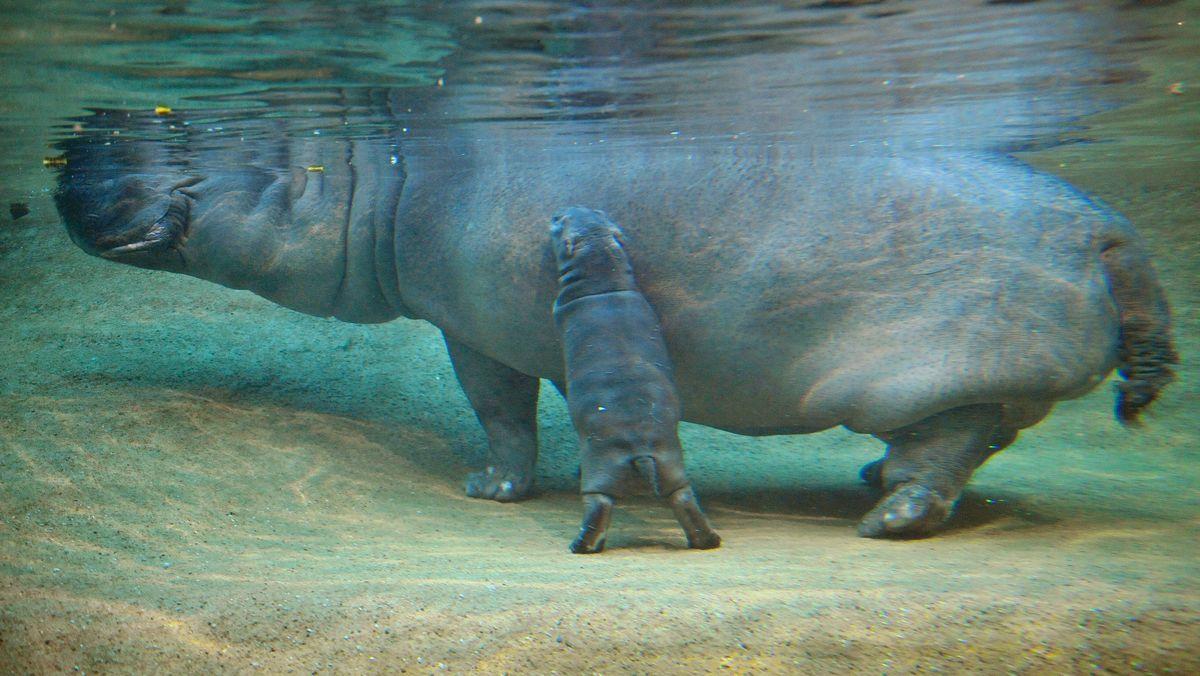 Flusspferd-Baby (vorne) taucht im Zoologischen Garten in Berlin neben seiner Mutter durchs Becken.