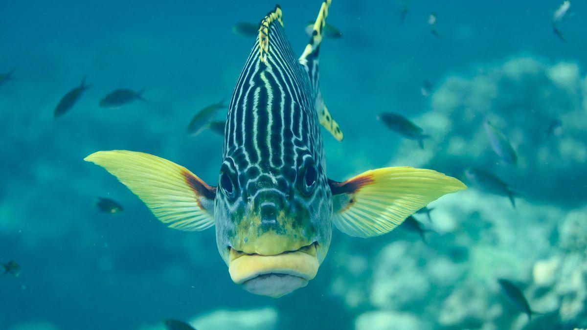 Frontalaufnahme einer Diagonalsüsslippe, Plectorhinchus lineatus, im Korallenriff. Selayar, Südsulawesi, Indonesien
