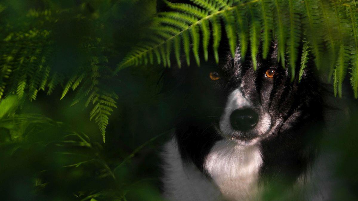 Hund hinter Farn halbversteckt
