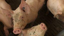 Schweine im Stall   Bild:BR/Beham