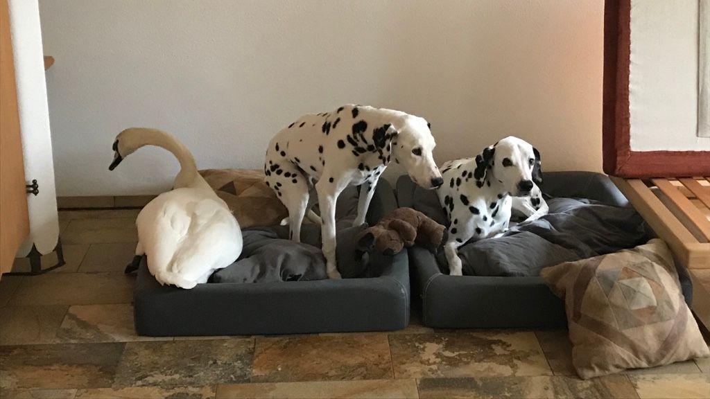 Die Dalmatiner Lucky und Casa machen brav Platz für Friederike. Vor der Schwanendame haben sie Respekt.