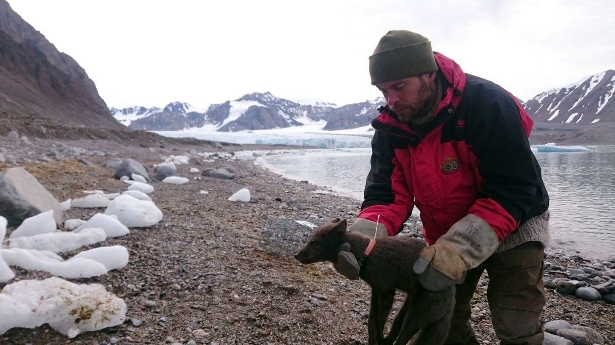 Wissenschaftler legten der jungen Polarfüchsin auf Spitzbergen ein Halsband samt Sender um. So konnten sie ihre Reise bis nach Kanada beobachten.