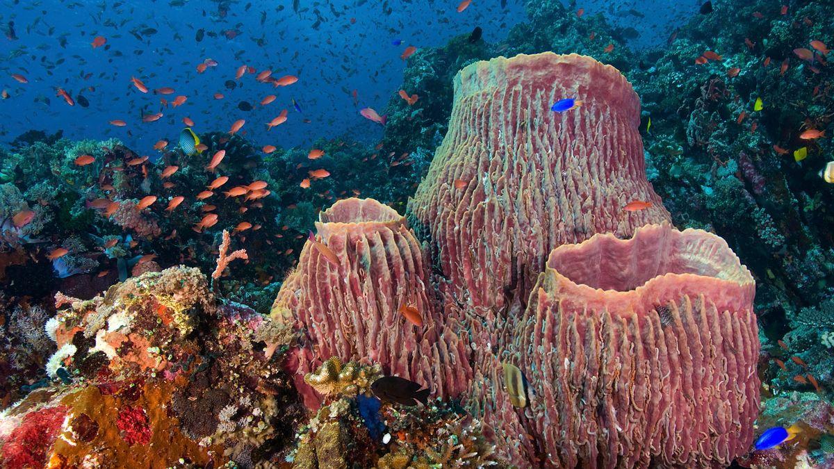 Unterwasserbild mit Fahnenbarsche an Tonnenschwämmen