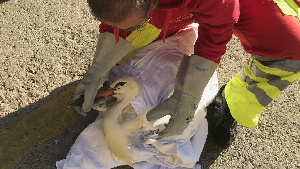 Ein Helfer wickelt den verängstigten Storch nach der Rettung in ein Handtuch