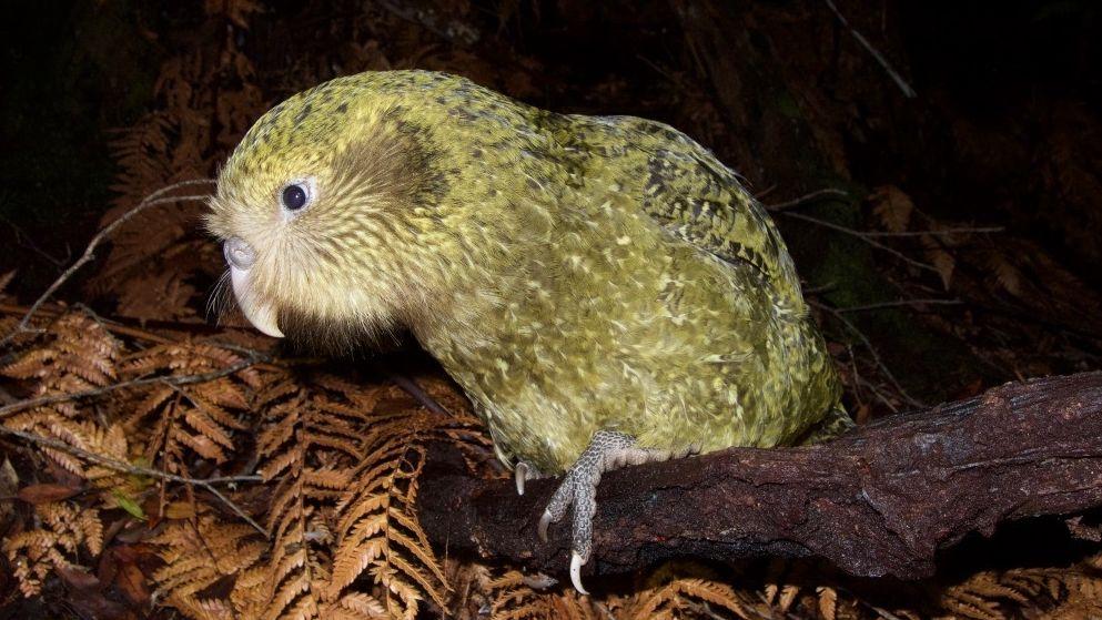 Foto eines Kakapo