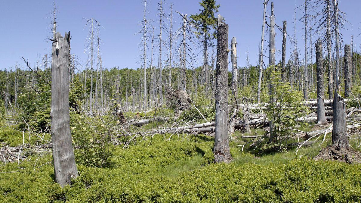 Nadelwald mit vom Borkenkäfer befallenen toten Fichten auf dem Berg Lusen im Nationalpark Bayerischer Wald bei Spiegelau