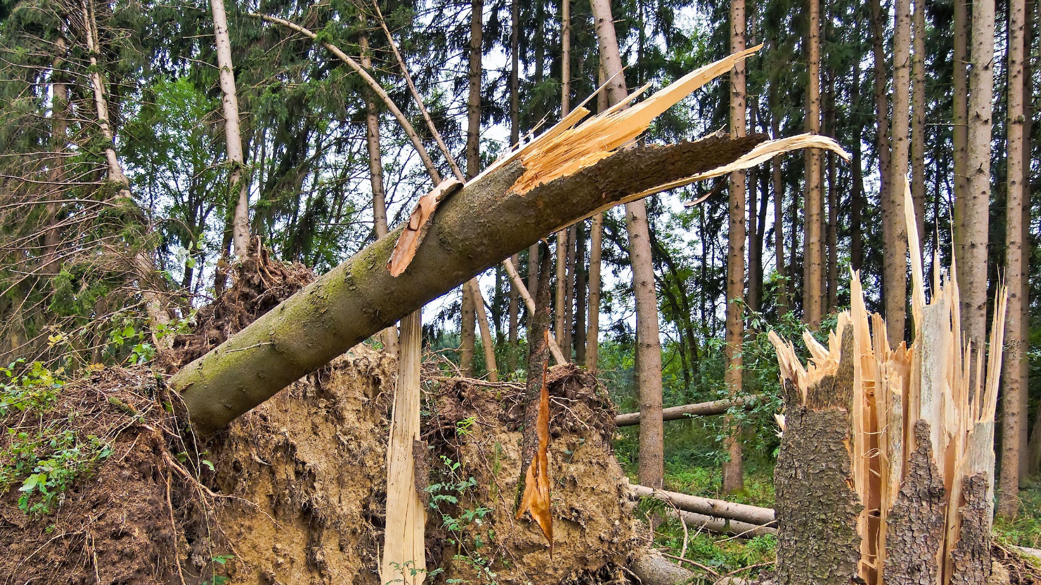 Entwurzelte Bäume nach Sturm Sabine