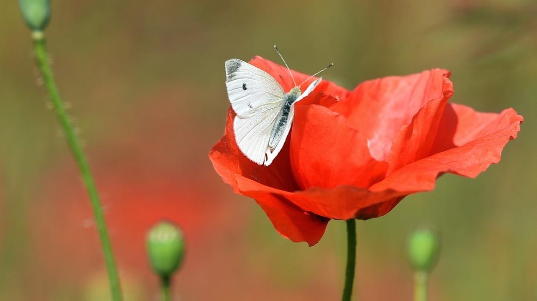 Schmetterling auf rotem Mohn