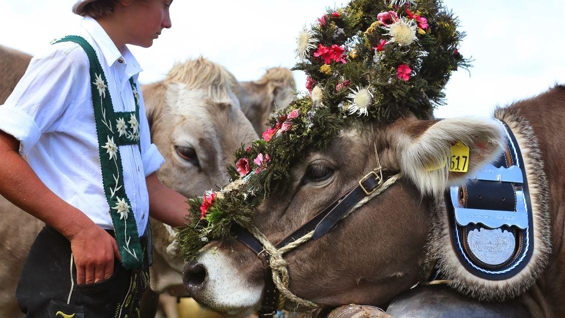Zum Viehscheid in Bad Hindelang gibt es wieder prächtige Kranzrinder zu sehen.