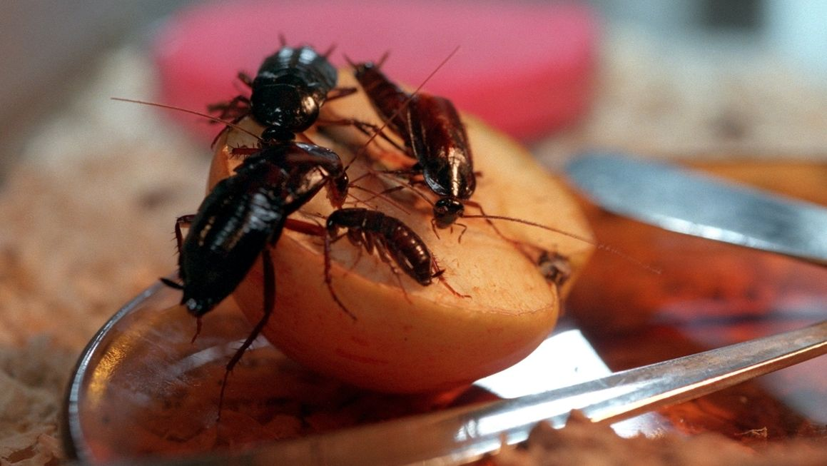 Kakerlaken auf einem halben Apfel