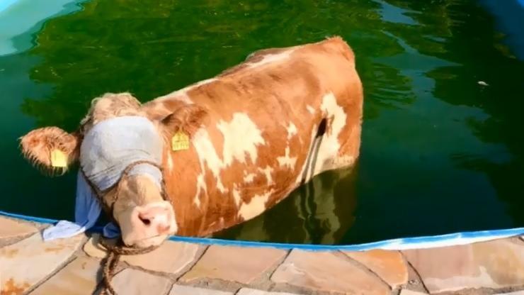Kuh Elfriede mit verbundenen Augen im Swimmingpool