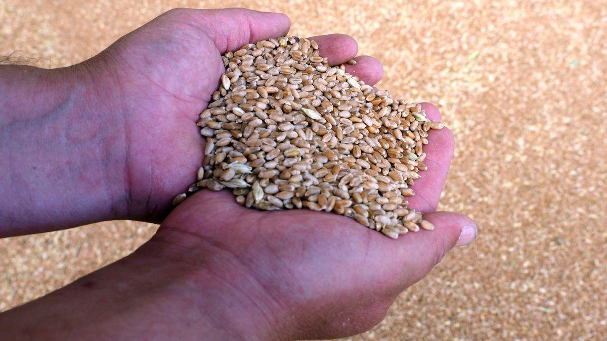 Hand mit Weizenkörnern
