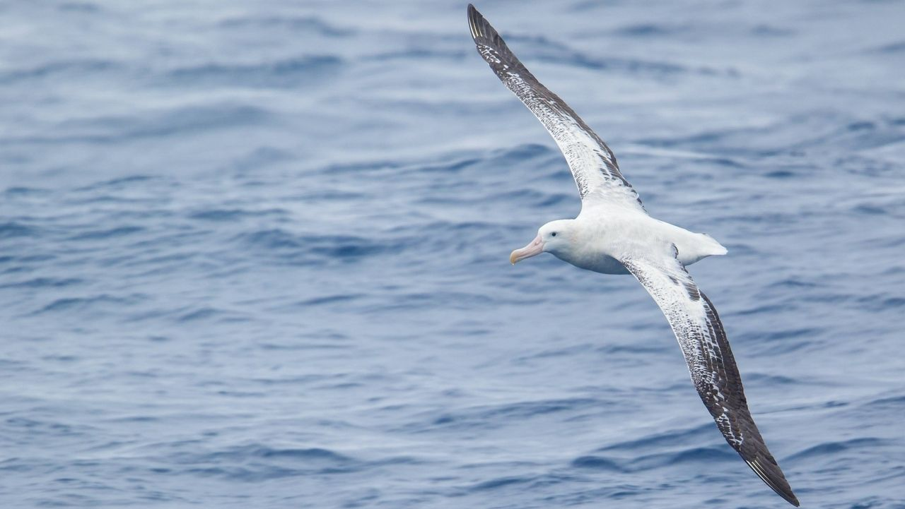 Wander-Albatros
