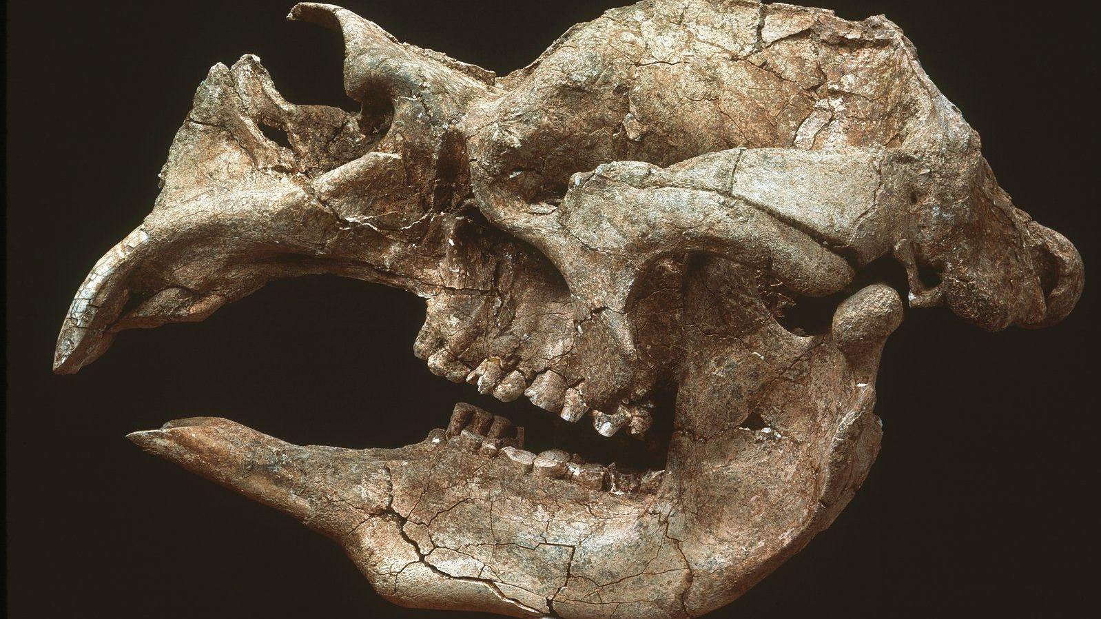 Schädelknochen eines Riesenwombats mit beachtlich großen Schneidezähnen.