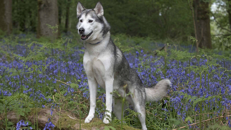 Husky (Symbolbild)