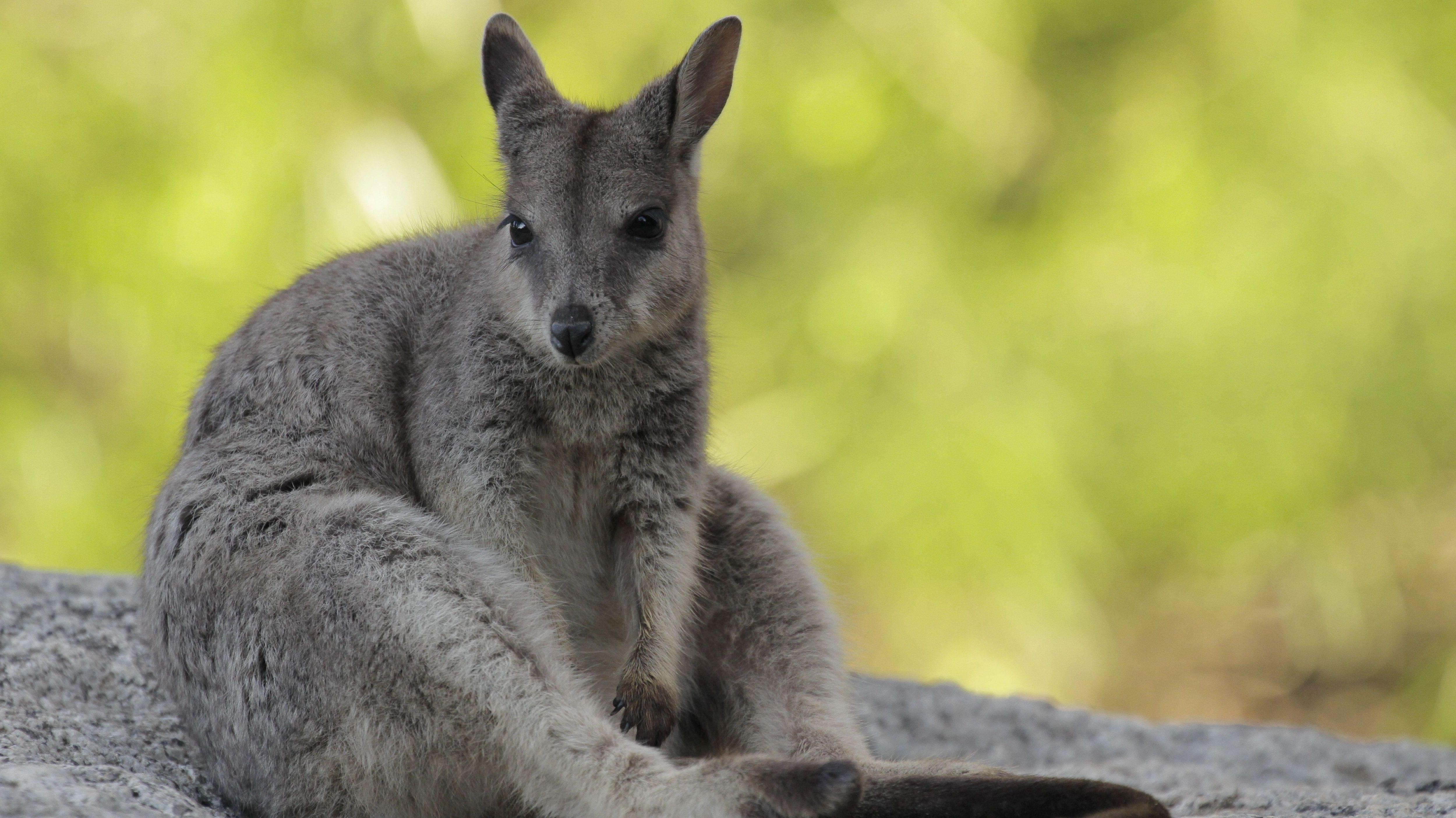 Untertraubenbach sucht schon wieder Känguru