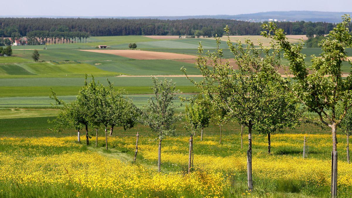 Gnotzheim: Alte Apfelbäume stehen auf einer Streuobstwiese.