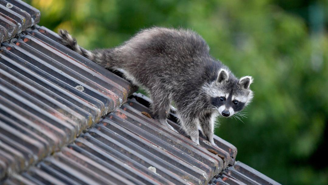 Waschbär auf einem Hausdach