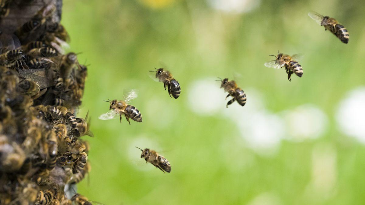 Mehrere Bienen fliegen in der Luft (Symbolbild)