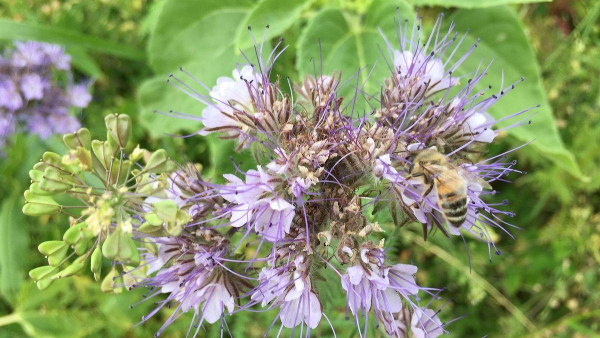 Bild von Biene auf Wildblume.