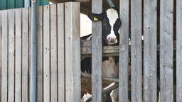 Eine Kuh schaut durch einen Zaun | Bild:dpa-Bildfunk/Karl-Josef Hildenbrand