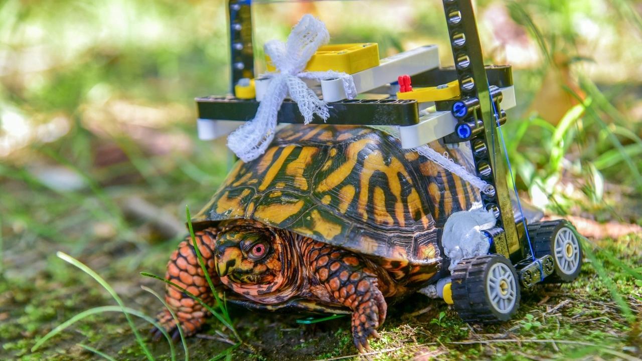 Verletzte Schildkröte mit Lego-Rollstuhl