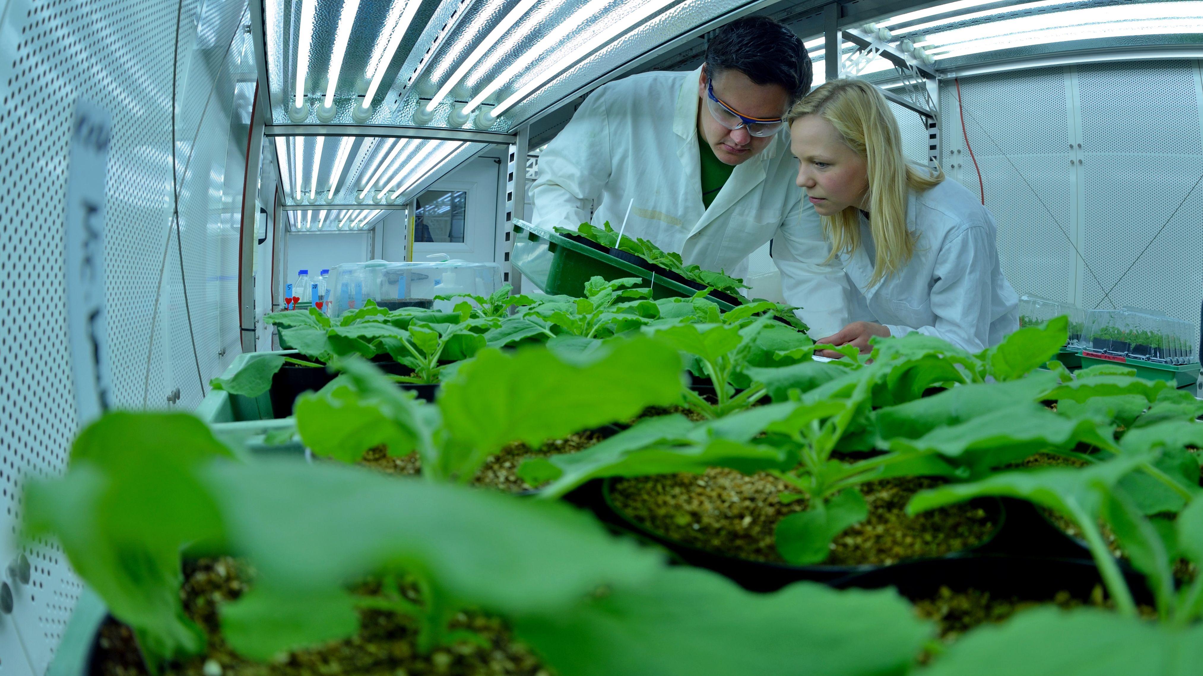 Forscher des Leibniz-Instituts für Pflanzenbiochemie prüfen Tabakpflanzen, die Inhaltsstoffe für Arznei- und Kosmetikprodukte liefern sollen.