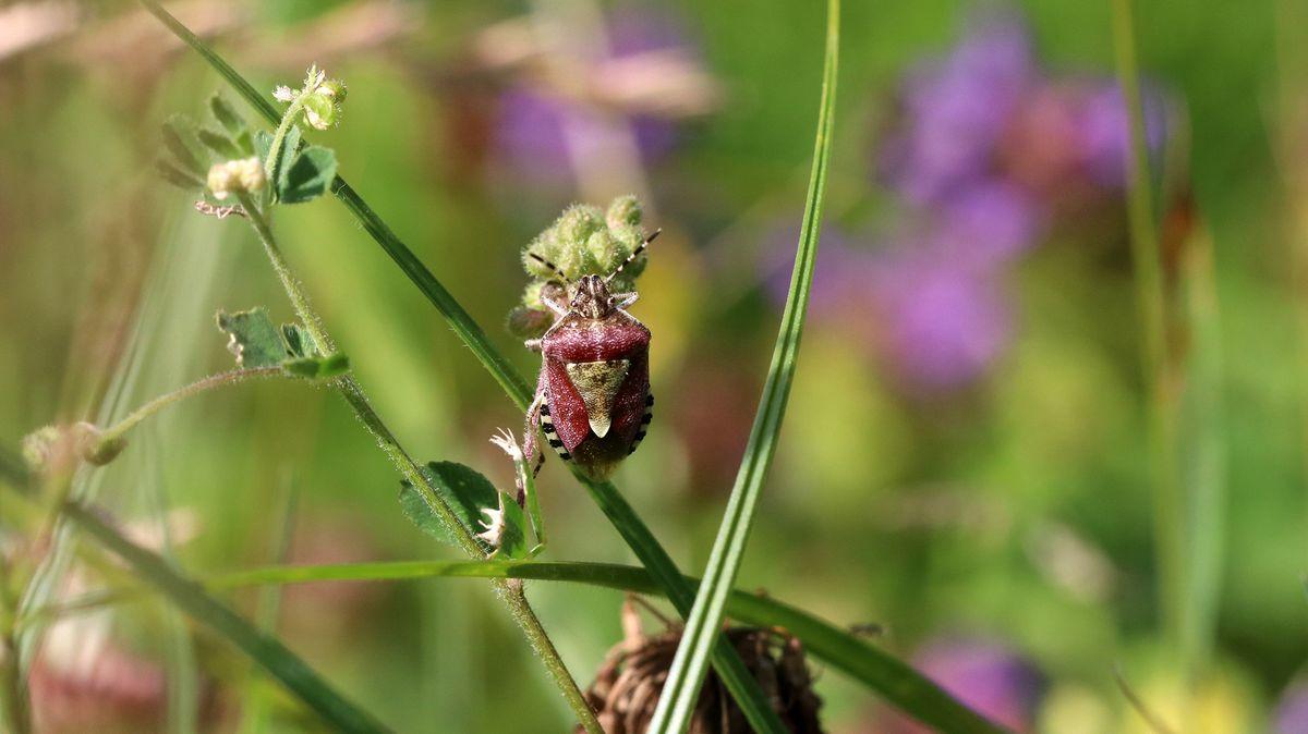 Manche Insektenarten sind auf einzelnen Flächen schon ganz verschwunden. Die Beerenwanze (Dolycoris baccarum) ist eine der wenigen Ausnahmen.