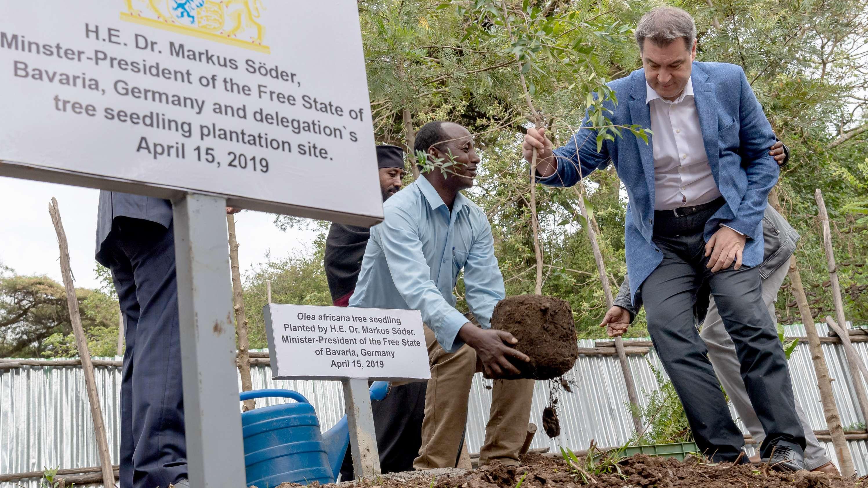Ministerpräsident Söder pflanzt einen Ölbaum.