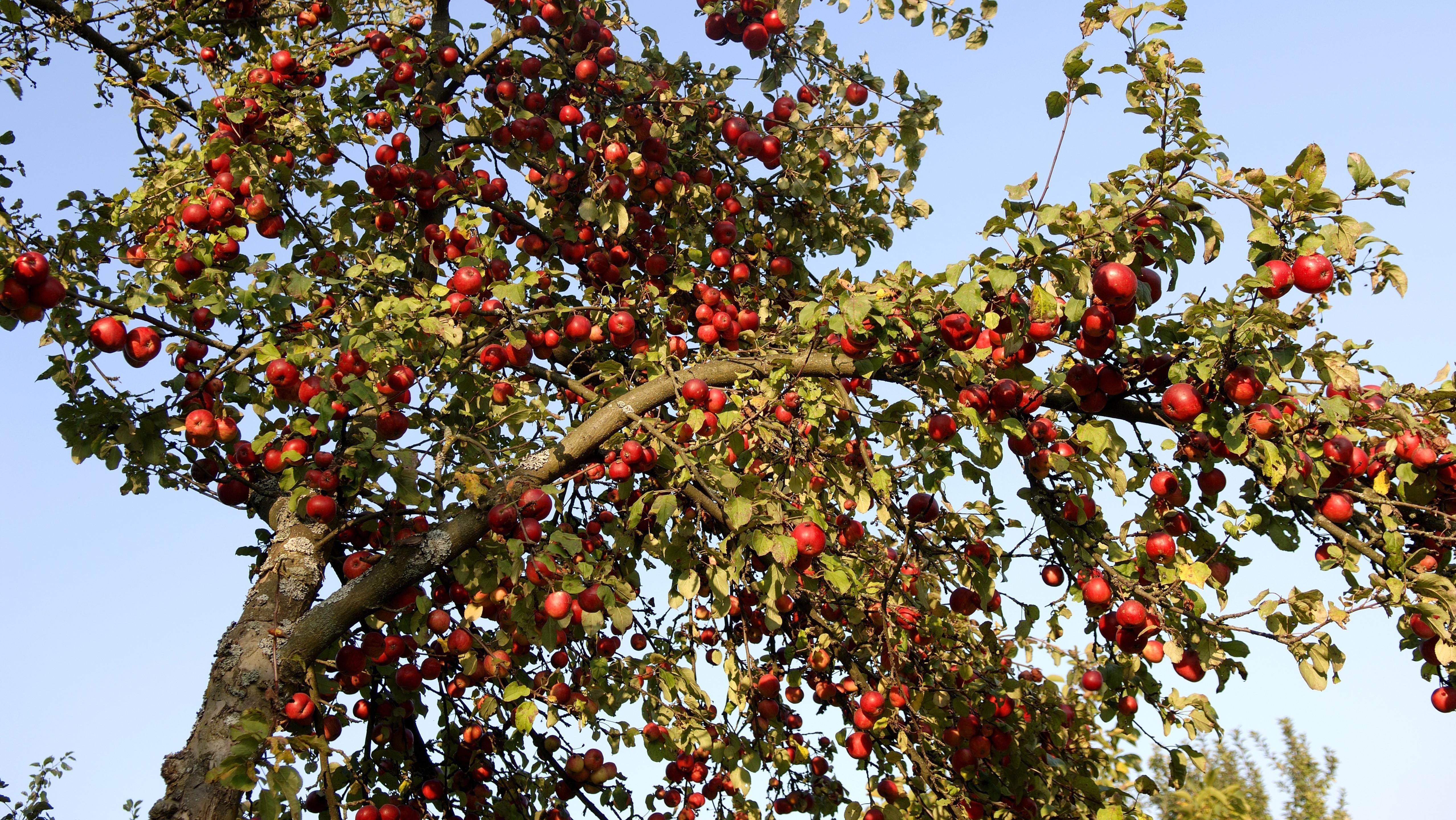 Ein Apfelbaum voller reifer Früchte