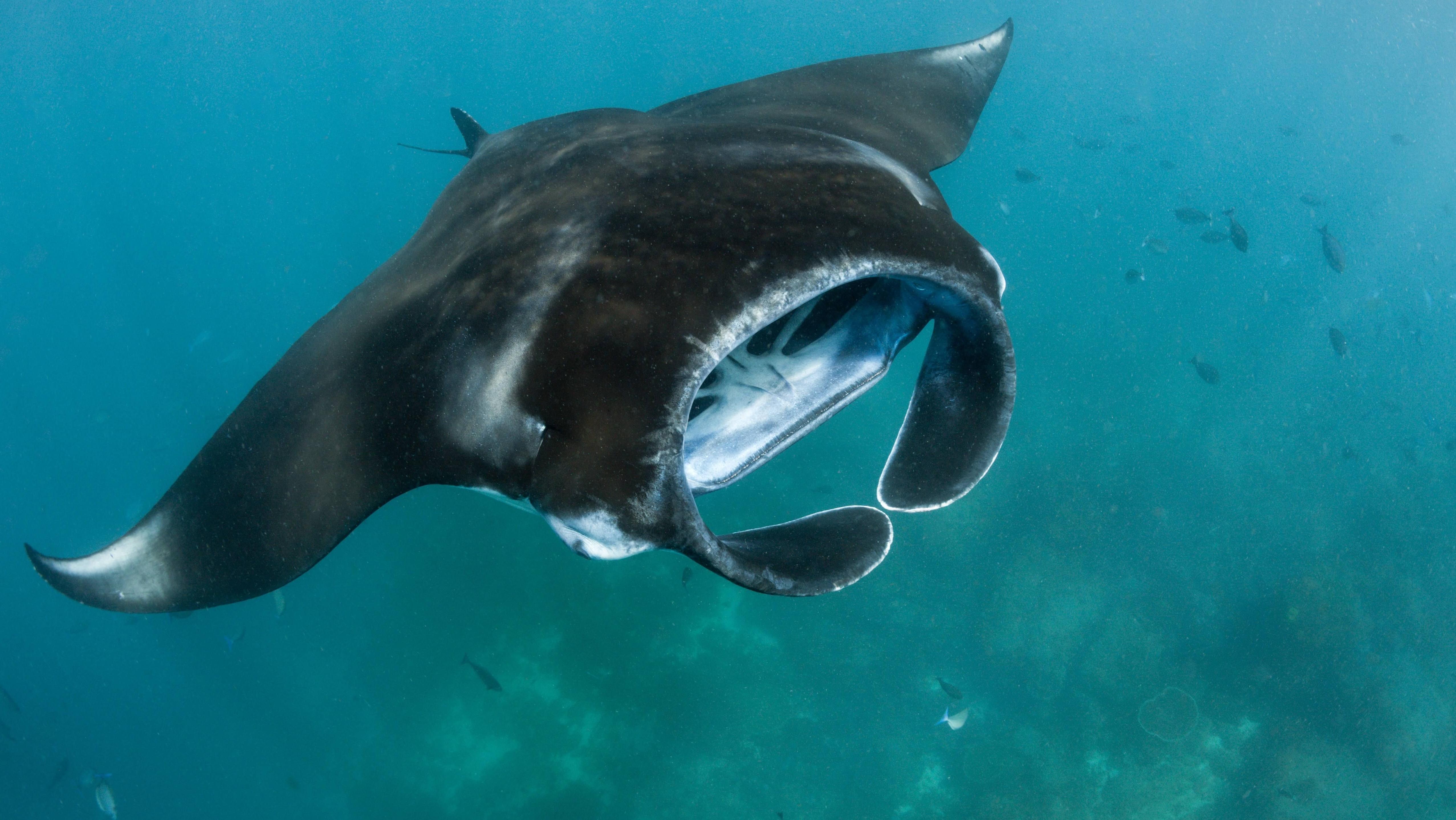 Riesenmantas gleiten mit offenem Maul durchs Meer und filtern in ihren Kiemen Wasser und Plankton